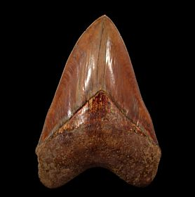Big Indonesian  Megalodon tooth for sale | Buried Treasure Fossils