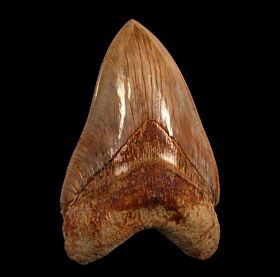 Real Indonesian Megalodon tooth for sale | Buried Treasure Fossils