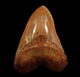 Extra Large West Java Megalodon tooth for sale | Buried Treasure Fossils
