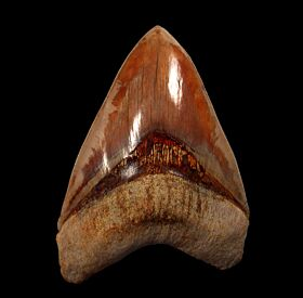Indonesian  Carcharocles megalodon tooth for sale | Buried Treasure Fossils