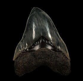 Indonesian  Otodus megalodon tooth for sale | Buried Treasure Fossils