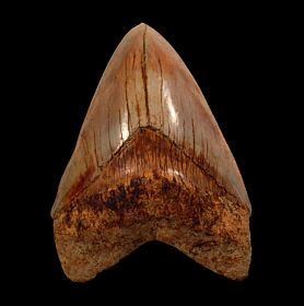 Indonesia  Otodus megalodon tooth for sale | Buried Treasure Fossils