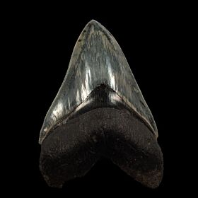 Extra Large Indonesian Megalodon tooth for sale | Buried Treasure Fossils