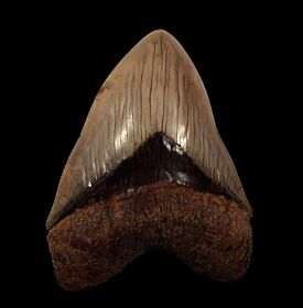 Serrated Indonesia Megalodon tooth for sale | Buried Treasure Fossils