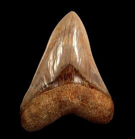Nice Indonesia  Megalodon tooth for sale | Buried Treasure Fossils
