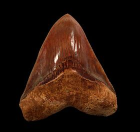 Top Quality Indonesian  Megalodon tooth for sale | Buried Treasure Fossils