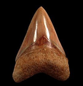 Real  West Java Otodus megalodon tooth for sale | Buried Treasure Fossils