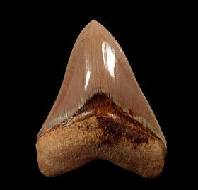 Real Indonesian  Carcharocles megalodon tooth for sale   Buried Treasure Fossils