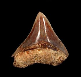 Cheap Indonesian  Otodus megalodon tooth for sale | Buried Treasure Fossils