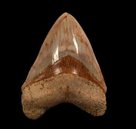 Big West Java Megalodon tooth for sale | Buried Treasure Fossils