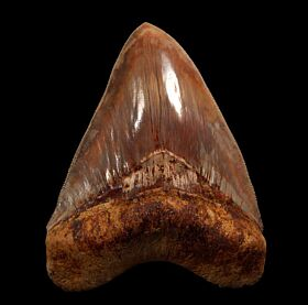 Quality Indonesian  Megalodon tooth for sale | Buried Treasure Fossils