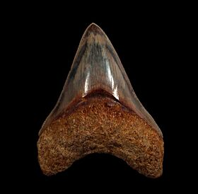 Quality West Java  Otodus megalodon tooth for sale | Buried Treasure Fossils