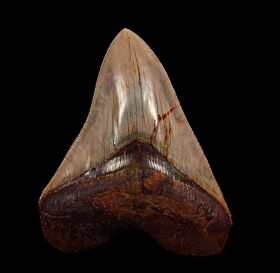 Quality West Java  Megalodon tooth for sale | Buried Treasure Fossils