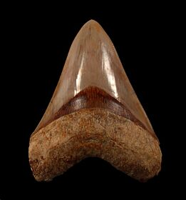 New  West Java  Otodus  megalodon tooth for sale | Buried Treasure Fossils