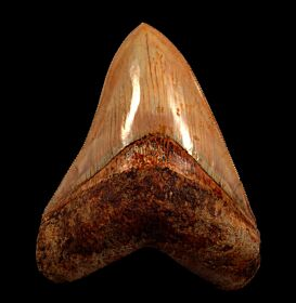 Rare West Java  Megalodon tooth | Buried Treasure Fossils