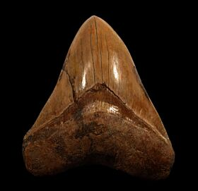 Indonesian Megalodon tooth IN73 for sale | Buried Treasure Fossils