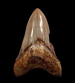 Inexpensive Indonesia  Megalodon tooth for sale | Buried Treasure Fossils