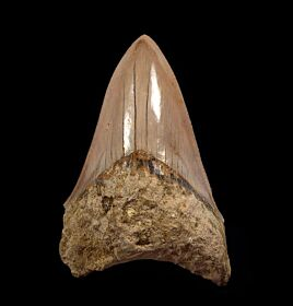 Commercial Indonesian  Megalodon tooth for sale   Buried Treasure Fossils
