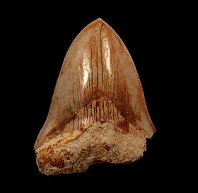 Partial Indonesian  Megalodon tooth for sale | Buried Treasure Fossils