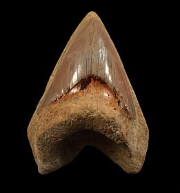 Good West Java Megalodon tooth for sale | Buried Treasure Fossils