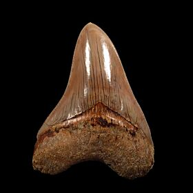 Good color West Java Otodus  megalodon tooth for sale | Buried Treasure Fossils