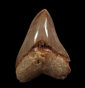 West Java Meg tooth 51 for sale   Buried Treasure Fossils