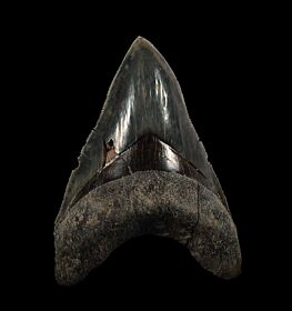 Indonesian  Otodus  megalodon for sale | Buried Treasure Fossils