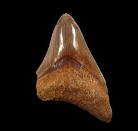 West Java Meg tooth 58 for sale | Buried Treasure Fossils