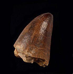 Mosasaurus anceps (Prognathodon)