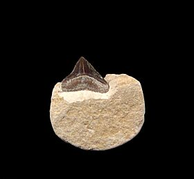 Kansas Squalicorax falcatus tooth for sale | Buried Treasure Fossils