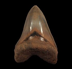 Aurora Megalodon tooth for sale | Buried Treasure Fossils