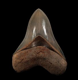 Gem Lee Creek Megalodon tooth for sale | Buried Treasure Fossils