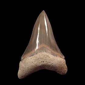Extra Large Aurora Megalodon tooth for sale | Buried Treasure Fossils