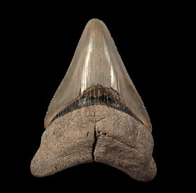 Incredible Lee Creek Megalodon tooth for sale | Buried Treasure Fossils