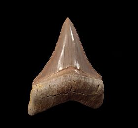 Nice Aurora Chubutensis tooth for sale | Buried Treasure Fossils