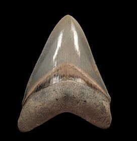 Top Quality Aurora Megalodon Tooth for sale | Buried Treasure Fossils