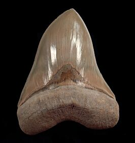 "A GEM 6-1/8"" Lee Creek Megalodon tooth for sale 