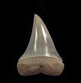 Isurus xiphodon