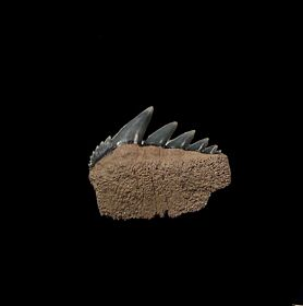 Blue Lee Creek Cow shark tooth for sale | Buried Treasure Fossils
