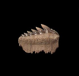 Blue Lee Creek Notorhynchus tooth for sale | Buried Treasure Fossils