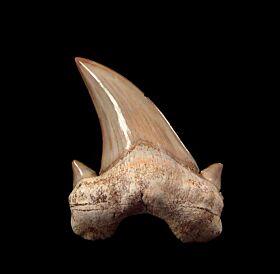Otodus tooth | Buried Treasure Fossils