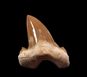Dual cusp Otodus shark tooth for sale | Buried Treasure Fossils
