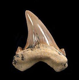 Carcharocles  sokolovi
