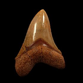 Nice Morocco Megalodon tooth for sale | Buried Treasure Fossils