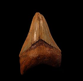 Cheap Morocco Megalodon tooth for sale | Buried Treasure Fossils