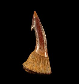 Large Onchopristis tooth for sale | Buried Treasure Fossils