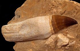 Massive Mosasaurus tooth with root on matrix for sale | Buried Treasure Fossils