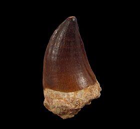 Prognathodon anceps  (Mosasaurus) tooth | Buried Treasure Fossils