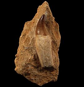 Large Mosasaur tooth in matrix for sale | Buried Treasure Fossils