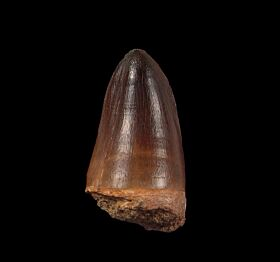 Perfect Prognathodon tooth for sale | Buried Treasure Fossils
